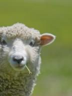 迷途的森林小羊