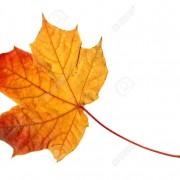 橙红色的枫叶